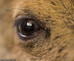 Tragiczny finał ataku udomowionego jelenia w Australii