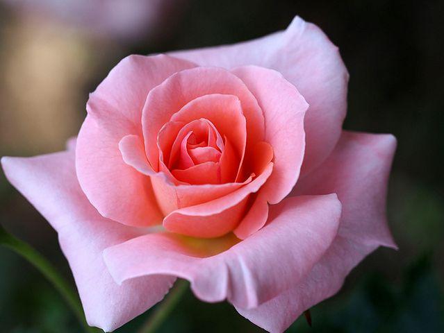 Róża i mleko