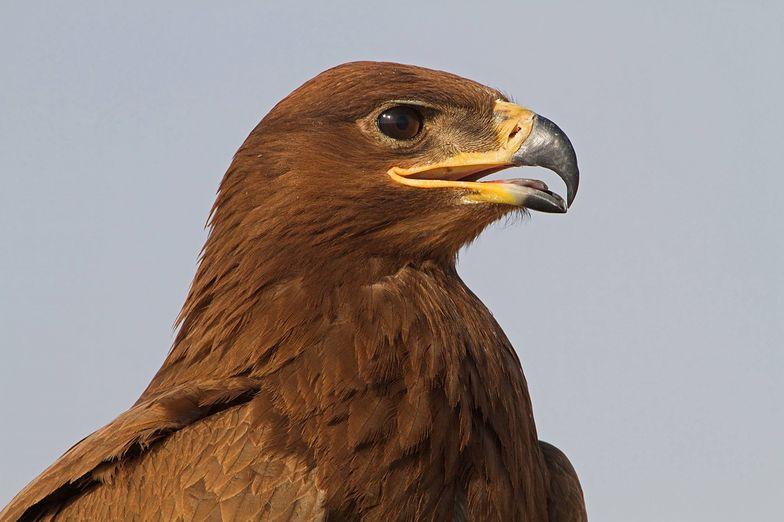 Orzeł puścił z torbami rosyjskich ornitologów, wysyłając im SMS-y z Iranu.