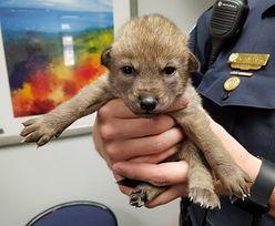 Policjanci przygarnęli psa. Śledztwo wykazało, że... to kojot