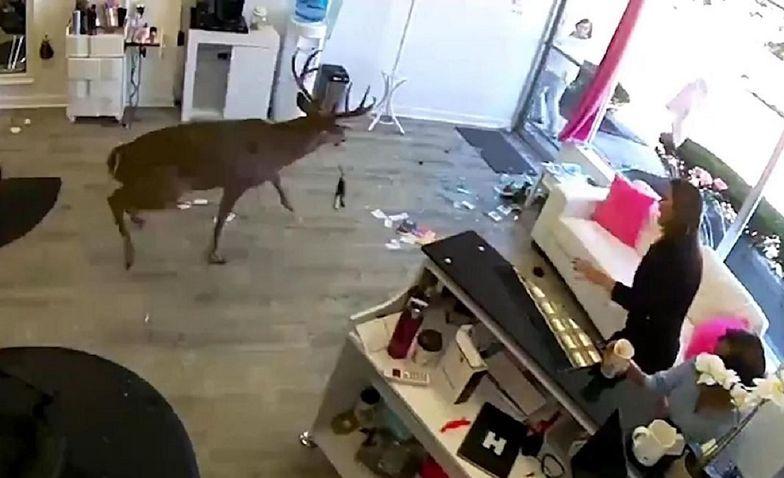 Nowy Jork. Jeleń wpadł do salonu fryzjerskiego przez okno, raniąc klientkę i wywołując panikę wśród personelu.
