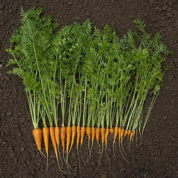 Nać marchewki