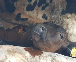 Makabryczny transport zwierząt na Śląsku. W środku 3 martwe cielęta