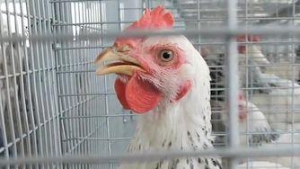 Oznaczenia na ekologicznych jajkach (WIDEO)