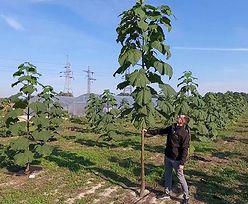 Oxytree rośnie już w Polsce! Niesamowite drzewko tlenowe