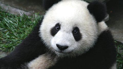 Google wprowadza obiekty AR do wyszukiwarki. Zobacz pandę w swoim pokoju