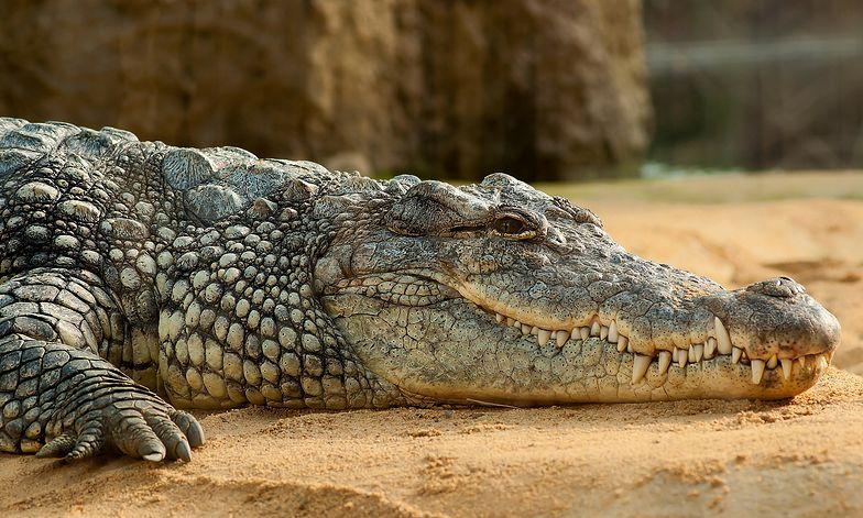 Atak krokodyla podczas nurkowania. Mężczyzna cudem przeżył