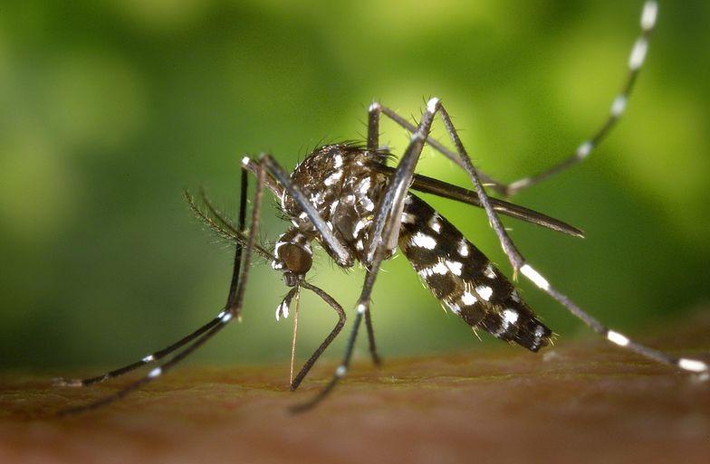 Komary tygrysie już w Holandii. Czy dotrą do Polski?