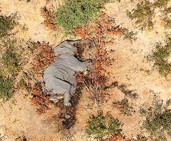 Tajemniczy wirus atakuje słonie. Czy przejdzie na ludzi?