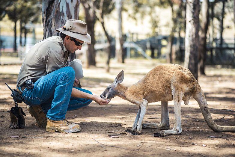 Kangury mogą komunikować się z ludźmi. Niewiarygodne odkrycie naukowców
