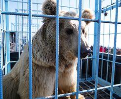 Wypuścili niedźwiedzie z klatek. Musieli uciekać