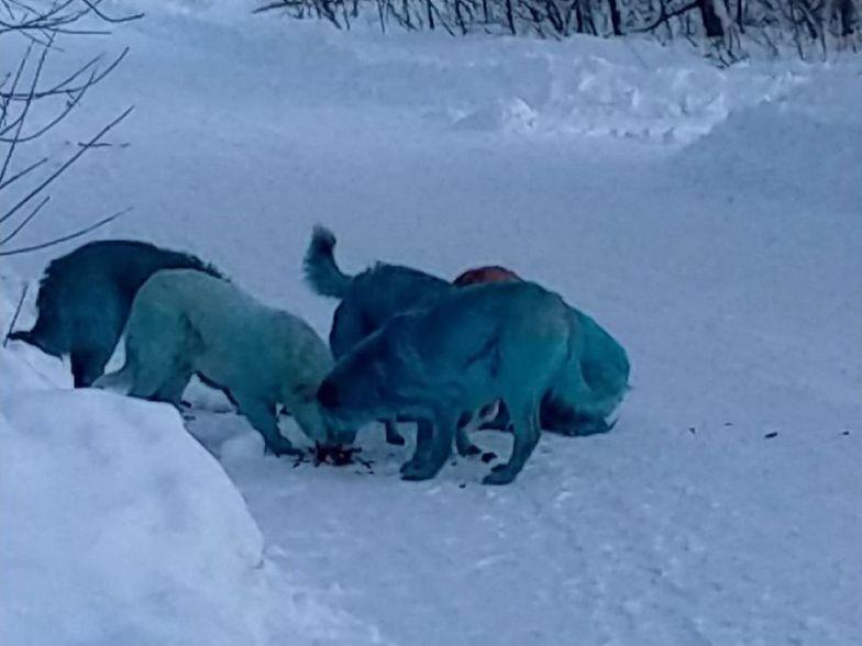Niebieskie psy w Rosji. Przeprowadzono oględziny zwierząt