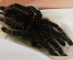 Warszawa. W trawie poruszało się coś dziwnego. Był to pająk z Australii