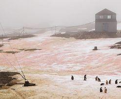 Śnieg zrobił się różowy i zielony. Zaskakująca sytuacja na Antarktydzie