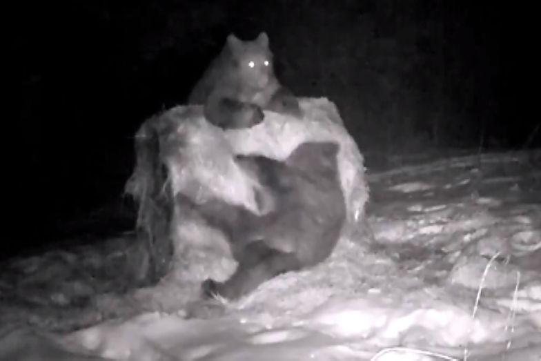 Budzą się z zimowego snu. Są pierwsze zdjęcia i filmy