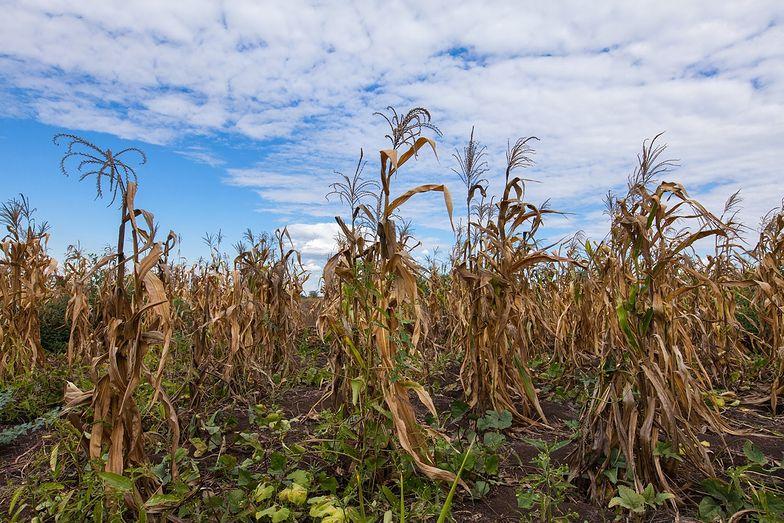 Susza w 2020 roku może przynieść poważne skutki. Ceny warzyw i owoców mogą znacznie wzrosnąć.