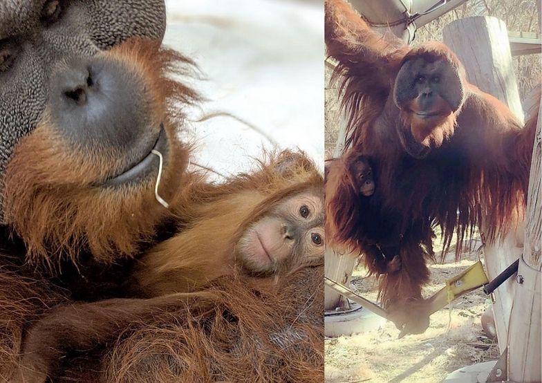 Samiec orangutana zaopiekował się córką po śmierci matki