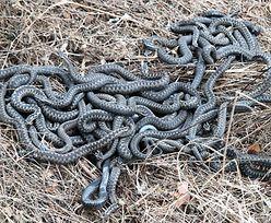 Australia żyje jak w horrorze. Po pladze myszy przyjdą węże?