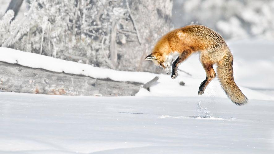 Lis, maskotka przeglądarki Firefox, z depositphotos.