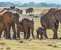 Wymordował 500 słoni. Sąd nie miał litości. Kamień milowy w walce z kłusownictwem?