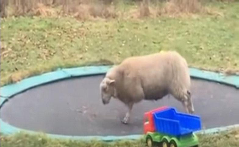 Hit YouTube'a. Owca odkryła trampolinę. Nie uwierzysz, co stało się później
