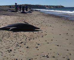 Ocean wyrzucił 61 delfinów na popularną plażę. Większość nie żyje