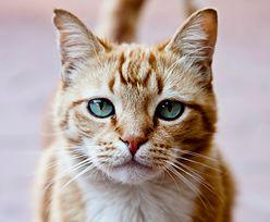 Koronawirus. Weterynarze zalecają trzymać koty w domu. Mogą się zakazić