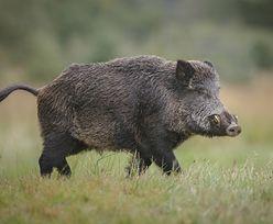 Afrykański pomór świń. Pierwszy przypadek w powiecie płockim