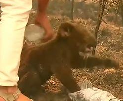 Pożary w Australii. Koala uratowany z płomieni przez kobietę