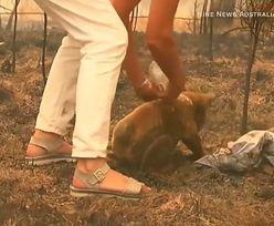 Australia w ogniu. Tragiczne doniesienia dot. koali Lewisa