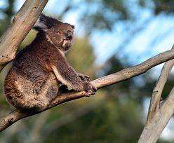 """Setki misiów koala spłonęły w pożarze. """"Narodowa tragedia"""""""