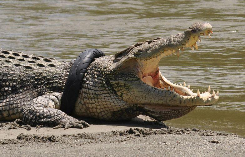 Krokodyl z oponą na szyi. Indonezja oferuje nagrodę dla osoby, która uratuje zwierzę