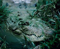 Krokodyl w Jeziorze Kunickim pod Legnicą? Szukają go wędkarze