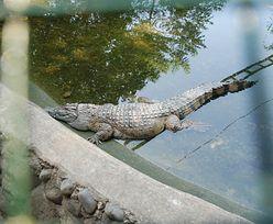 Krokodyl musiał zginąć. Dopiero wtedy wypuścił opiekunkę ze szczęk