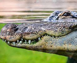 Krokodyl zabił mężczyznę na oczach przerażonego siostrzeńca