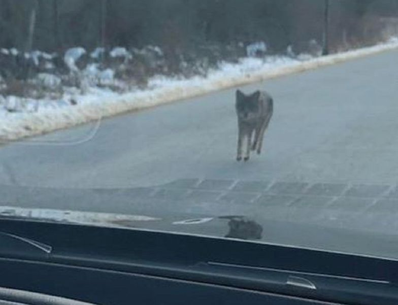 USA. Kojot zaatakował dziecko. Ojciec zabił zwierzę gołymi rękami