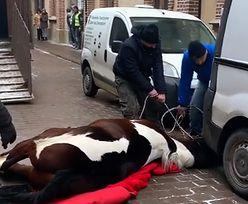 Koń ciągnący dorożkę przewrócił się w centrum Krakowa. Właściciele nie czekali na weterynarza