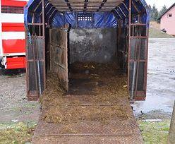 Przewozili konie w strasznych warunkach. Jeden padł z wycieńczenia