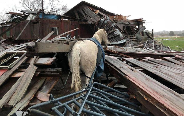 Cud w Ohio. Koń przeżył tornado. Zobaczcie, co zostało ze stodoły