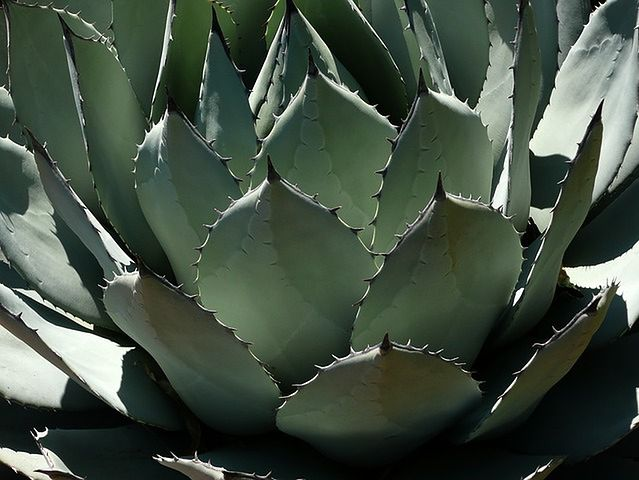 Nektar z agawy – 60 kalorii na łyżkę