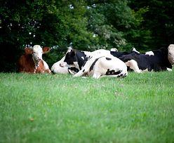 Aktywiści uwolnili krowy w Niemczech. 4 nie żyją, 40 jest w stanie krytycznym