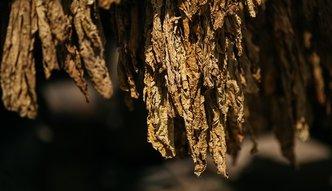 """""""Afera tytoniowa"""" doczekała się finału. Oszukani rolnicy dostaną pomoc od państwa"""