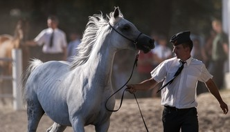 233 tys. euro za konie w Janowie Podlaskim. Do rekordowych wyników bardzo daleko