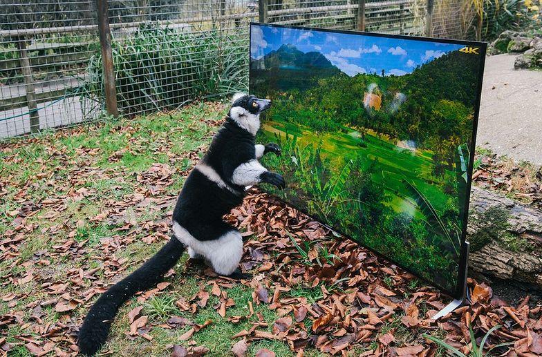 #aleocochodzi Lemur ogląda telewizję