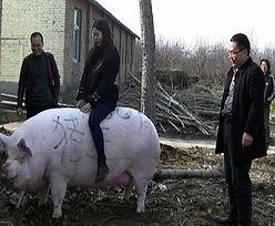 Rolnik dumny. Gigantyczna świnia waży więcej niż niedźwiedź polarny