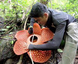 Największy kwiat świata. Ma rekordowe wymiary