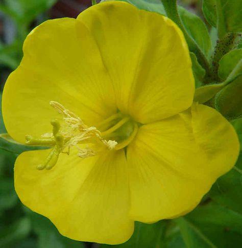 Oleje z kwiatów