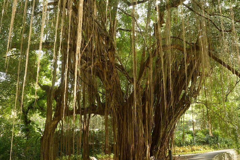 """700-letnie drzewo w Indiach podłączono do """"kroplówki"""""""