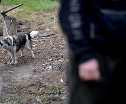 Niepełnosprawny zagryziony przez psy. Ich właściciel był pijany