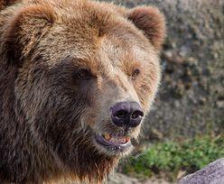 Dzielna Brytyjka uratowała chłopaka zaatakowanego przez niedźwiedzia
